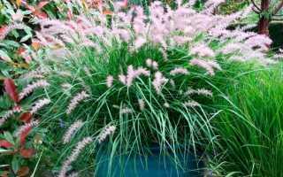 Пеннисетум лисохвостный и другие виды: выращивание из семян, посадка, уход