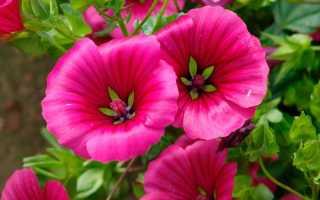 Малопа: отличие от лаватеры, фото цветов, выращивание из семян, посадка, уход
