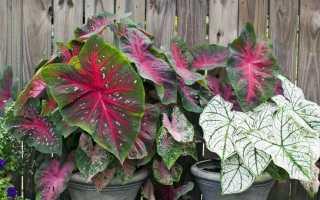 Каладиум: уход в домашних условиях, виды с фото, цветение, размножение caladium