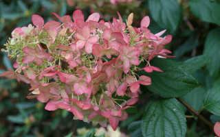 Гортензия метельчатая пинк леди: описание и фото, посадка и уход за pink lady, отзывы