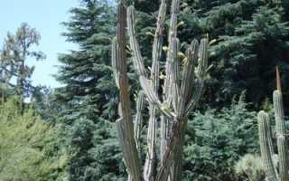 Кактус цереус: виды, фото и названия (перуанский, монстрозная форма, гигантский), уход в домашних условиях