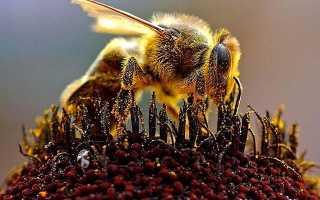 Строение пчелы: какие отделы тела имеет пчела, анатомия головы, тела, развитие организма