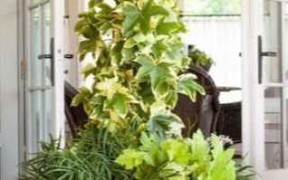 Цветок фатсхедера Лизе: уход в домашних условиях, фото, размножение