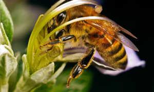 Среднерусская пчела: фото крупным планом, характеристика, отзывы пчеловодов, сравнительная таблица