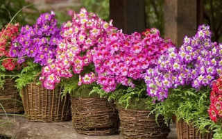 Схизантус: фото, выращивание из семян в домашних условиях, посадка и уход