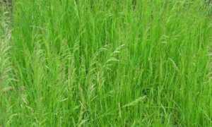 Мятлик луговой как газонная трава: плюсы и минусы, посадка, фото