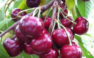Черешня крупноплодная: описание сорта, фото, отзывы, морозостойкость, опылители