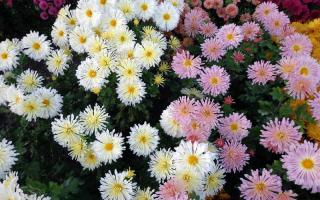 Многолетние садовые хризантемы: виды и сорта с фото и описаниями