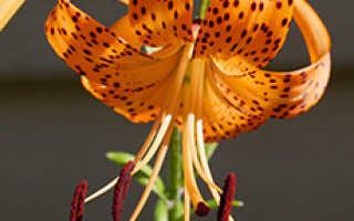 Реймания крылатая Тигровая лилия: выращивание из семян, посадка, уход