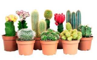 Кактусы (cactus) домашние: виды с названиями на фото, описание, где растут, как цветут, уход в домашних условиях