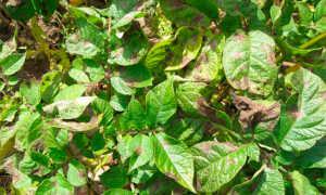 Фитофтороз картофеля: возбудитель, как бороться, фото болезни, описание и лечение, обработка клубней перед посадкой