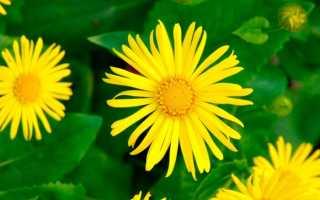 Дороникум: фото растений, описание, виды, выращивание, посадка и уход