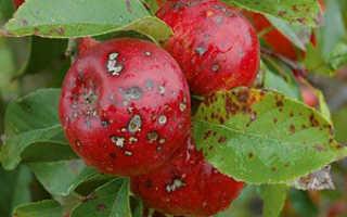 Альтернариоз яблони (бурая пятнистость): фото, меры борьбы-биологические препараты, химия, народные средства