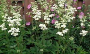 Лабазник обыкновенный, вязолистный и другие: фото растений, посадка и уход